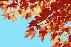 a maple tree in autumn